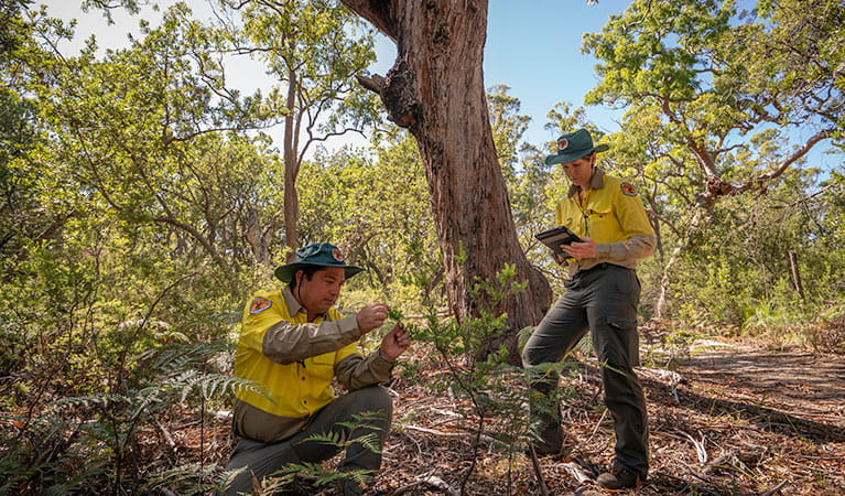 NPWS rangers conduct an animal survey in Tomaree National Park. Photo: John Spencer/DPIE