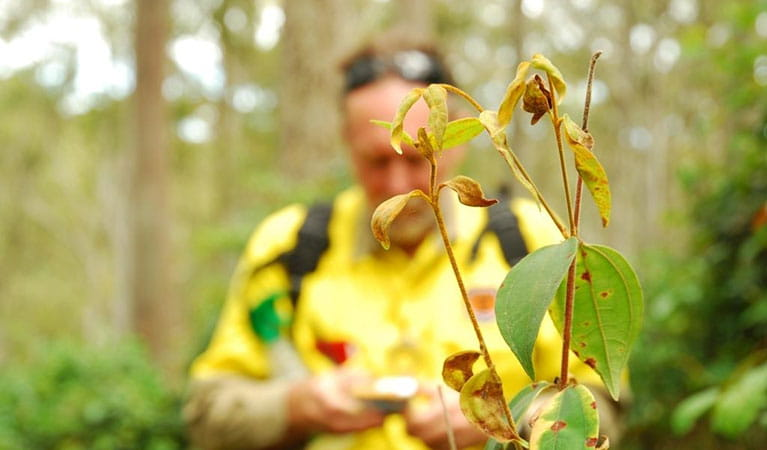 A project officer examines the emerging pathogen Myrtle Rust, a serious fungal disease that affects plants in the Myrtaceae family. Photo: Michael Jarman/DPIE