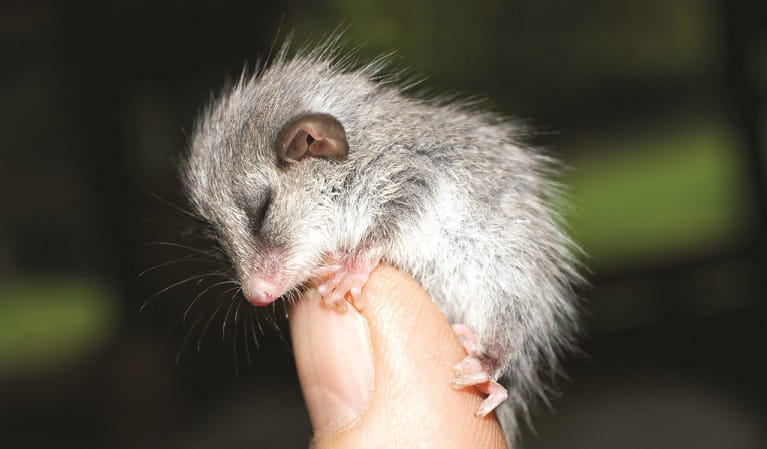 Sleeping pygmy possum clutching tightly on to finger. Photo: Janet Mayer