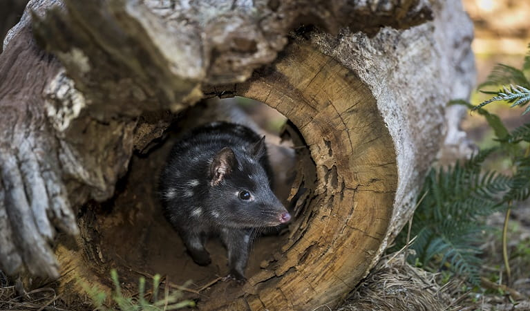 Quoll taking shelter in hollow log. Photo: David Stowe