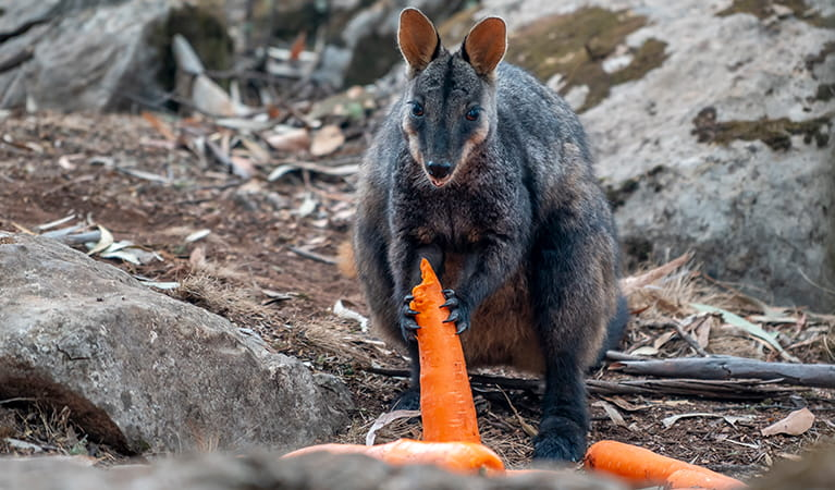 Brush-tailed rock wallaby eats carrots dropped from a helicopter into a national park. Photo: John Spencer/DPIE