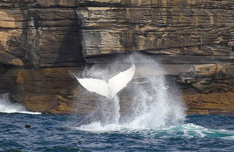 Humpback whale tail. Photo: OEH