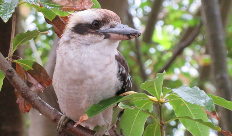 Kookaburra in tree. Photo: K Cooper/OEH