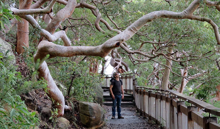 Angophora trees on Bradleys Head boardwalk. Photo: Kerry Cooper/OEH