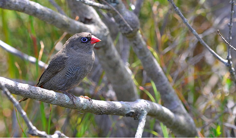 Beautiful firetail bird sitting in tree. Photo: G Dunnett/OEH