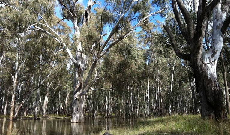 Ecological thinning trial in river red gum forests, Murray Valley National Park. Photo: Emma Gorrod