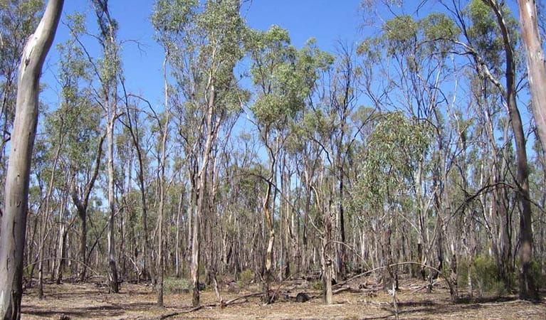 Ecological thinning trial in River Red Gum forests, Murray Valley National Park. Photo: Danielle Macallister