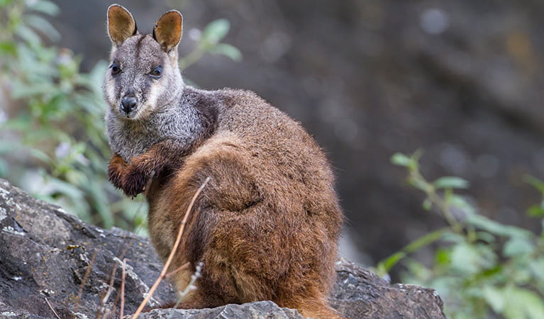 Brush-tailed rock-wallaby (Petrogale penicillata). Photo: Gerhard Koertner