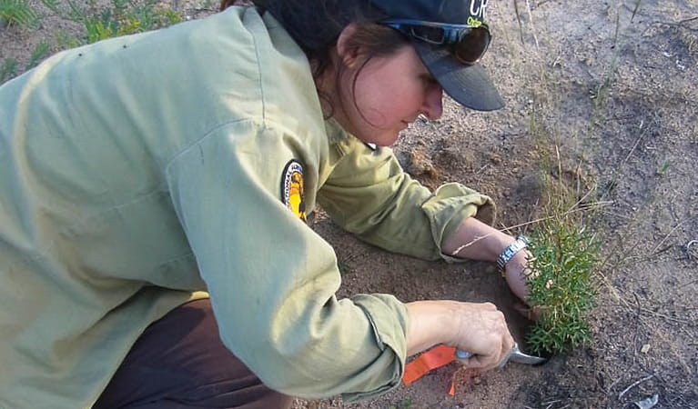 Planting a tree seedling after a fire, Warrumbungle National Park. Photo: Penny Watson
