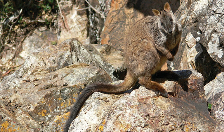 Brush-tailed rock-wallaby (Petrogale penicillat). Photo: Shane Ruming