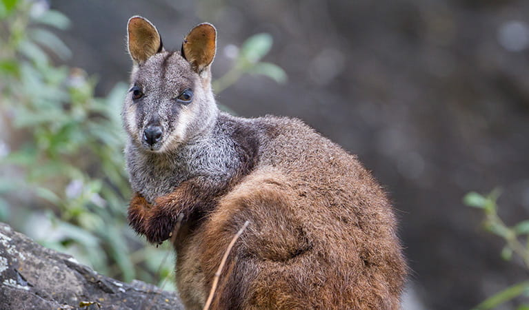Brush-tailed rock-wallaby (Petrogale penicillat). Photo: Gerhard Koertner