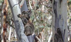 Koala (Phascolarctos cinereus) perched on a tree. Photo: Lucy Morrell