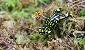 Southern corroboree frog (Pseudophryne corroboree), Kosciuszko National Park. Photo: John Spencer