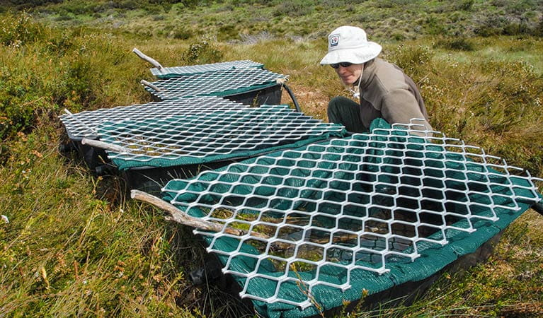 Artificial plastic ponds for the southern corroboree frog (Pseudophryne corroboree), Kosciuszko National Park. Photo: David Hunter