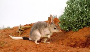 Bilby on semi arid landscape at Sturt National Park. Photo: Michael Todd/OEH