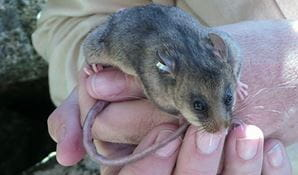 Mountain pygmy possum (Burramys parvus). Photo: Cate Aitken