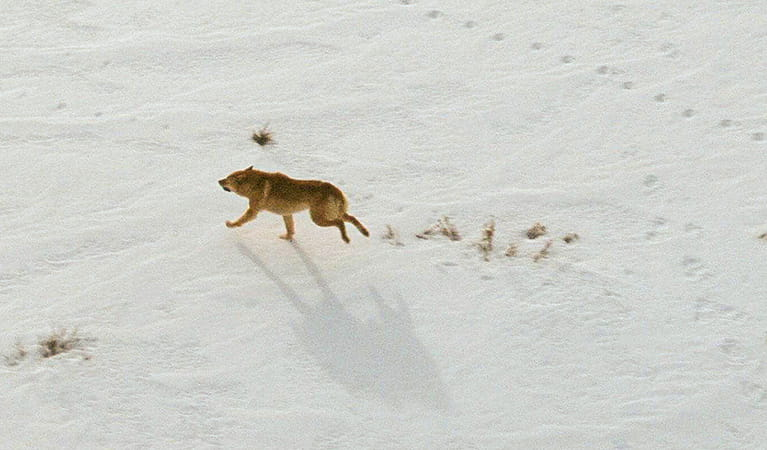 Wild dog running through the snow, Feral Animal Aerial Shooting Team (FAAST). Photo: A Moriaty