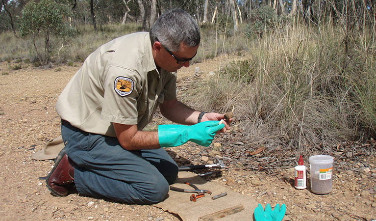 NPWS field officer setting up a fox trap. Photo: OEH