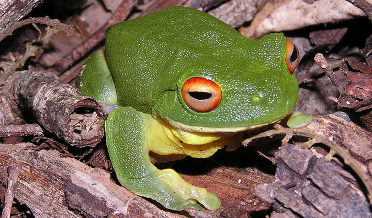 Red-eyed tree frog (Litoria chloris). Photo: Paul Meek