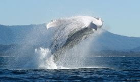 Whale breaching at Cape Byron National Park. Photo: Dan Burns