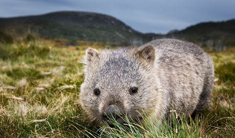 Common wombat (Vombatus ursinus), Kosciuszko National Park. Photo: Ingo Oeland