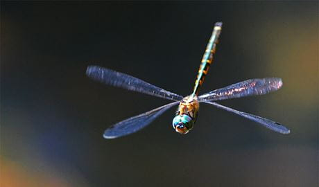Dragonfly in flight. Royal National Park. Photo: Gary Dunnett/OEH