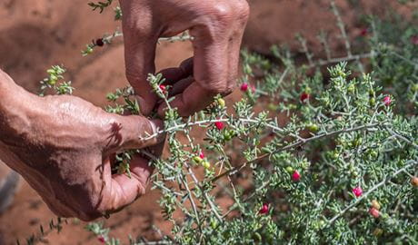 Bush food, Mungo National Park. Photo: John Spencer