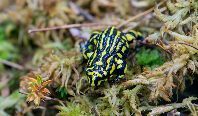 Southern corroboree frog, (Pseudophryne corroboree), Kosciuszko National Park. Photo: John Spencer