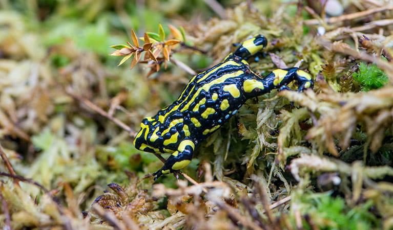 Corroboree Frog (Pseudophryne corroboree), Kosciuszko National Park. Photo: John Spencer