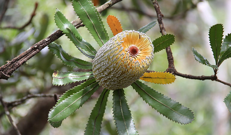Old Man Banksia (Banksia serrata), Morton National Park. Photo: John Yurasek