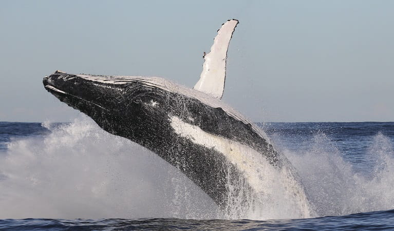 Whale broaching water. ©OEH
