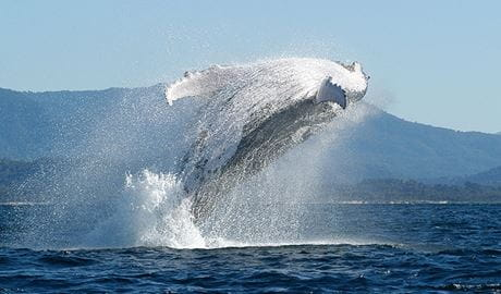 Humpback Whale (Megaptera novaeangliae) breaching. Photo: Dan Burns