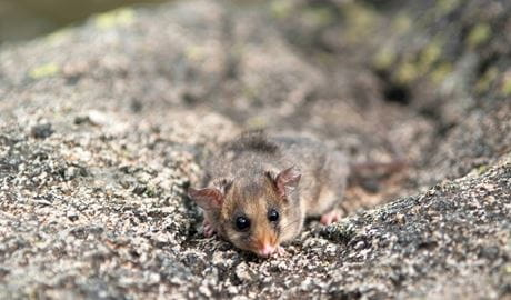 Mountain pygmy possum, Kosciuszko National Park. Photo: Dan Nicholls/OEH
