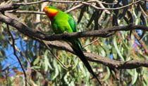 A superb parrot sits on a branch in the canopy of a gum tree. Photo credit:  Philip Maher © Australian Ornithological Services