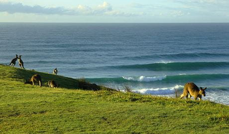 Grassy coastal slope with kangaroos against a backdrop of gently breaking ocean waves. Photo © Paget Thompson