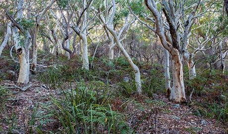 Scribbly gum trees in Jervis Bay National Park.  Photo credit: Michael Van Ewijk © DPIE