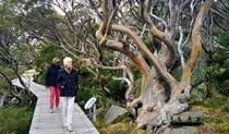 2 people walking along a boardwalk past gnarled trees in Kosciuszko National Park on a tour with Gang Gang Tours. Photo: Janine Becker © Gang Gang Tours