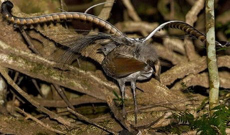 Superb lyrebird showing tail feathers, walking on the forest floor. Photo credit: Albert Schulte © Inala Nature Tours