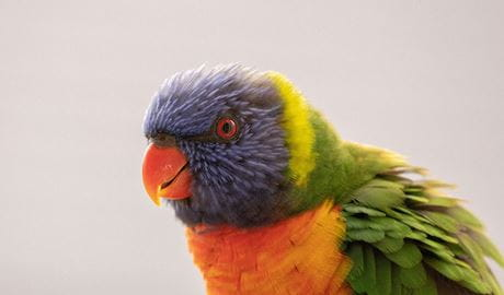 A rainbow lorikeet. Photo: Max de Beer © Malimbe Safaris