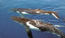 Aerial view of 2 humpback whales breaching at the ocean surface. Photo © Oz Whale Watching