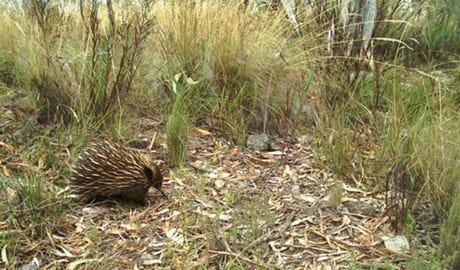 A short beaked echidna (Tachyglossus aculeatus) foraging amongst native grasses. Photo credit: WildCount © DPIE