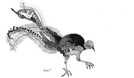 Black and white ink drawing of a lyrebird by Amy Kersey, Ku-ring-gai Chase National Park. Artwork: Amy Kersey/the artist