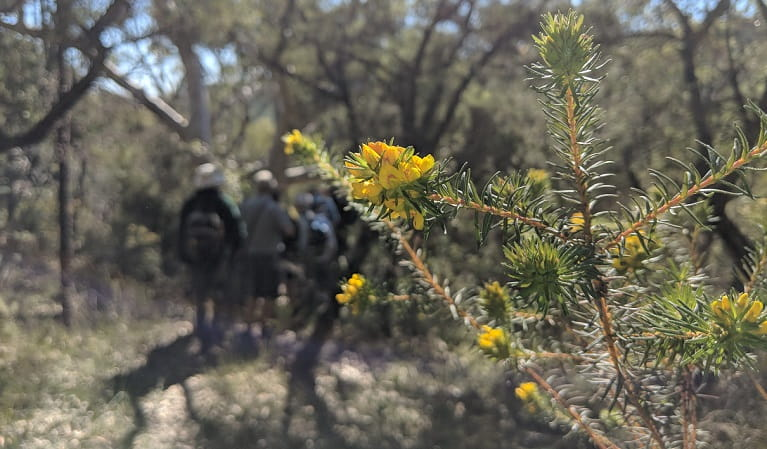 Yellow flowers with walkers in the background, Muogamarra Nature Reserve. Photo: Theresa Willsteed/OEH