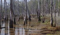 Drowned forest, Colongra Swamp Nature Reserve. Photo: Barry Collier © Barry Collier