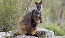 Brush-tailed rock wallaby with joey. Photo: Michael Van Ewijk/DPIE
