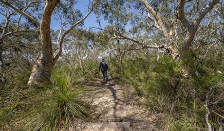 Walker on a track through bushland in Garigal National Park. Photo: John Spencer/OEH