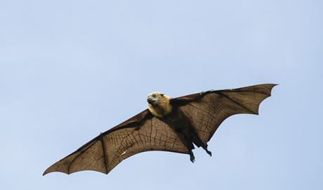 A grey-headed flying-fox in flight. Photo: Shane Ruming/OEH