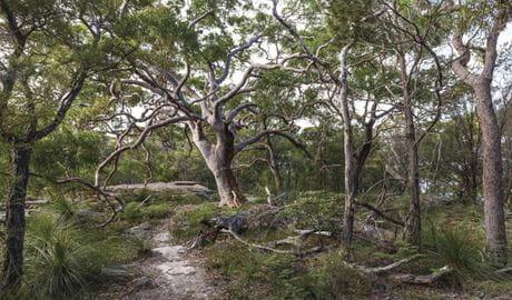 Sydney red gums in Ku-ring-gai Chase National Park. Photo: David Finnegan/OEH