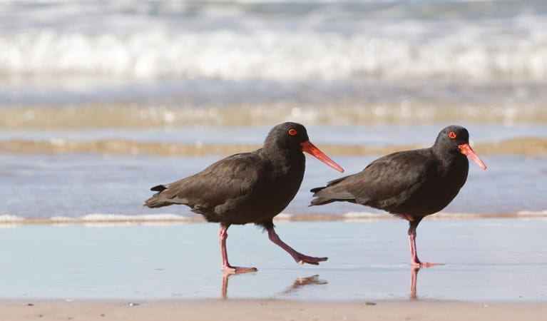 Sooty oystercatchers. Photo: R Cleary Seen Australia/OEH