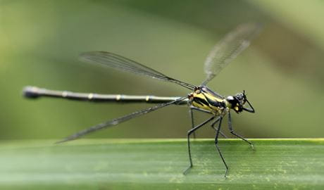 Damselfly waterbug. Photo: Rosie Nicolai/OEH